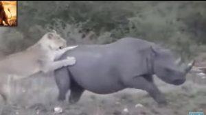 Lion vs Rhino! Who Do You Think Wins?