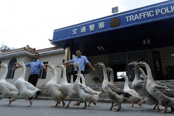 Chinese police uses geese instead of police dogs for more aggressiveness and intelligence