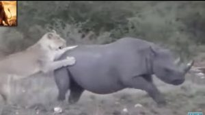 Lion vs Rhino! Who Do You Think Wins?